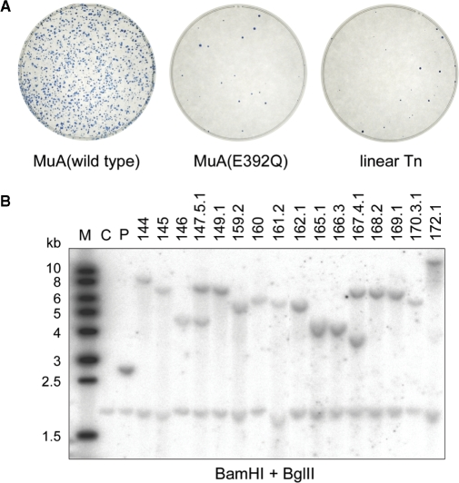Analysis of transpososome-mediated gene delivery into mouse ES cells. ( A ) Efficiency. Pre-assembled transpososomes made with Kan/Neo-p15A-Mu transposon were introduced into mouse cells by electroporation. Following G418 selection, surviving cell colonies were stained with methylene blue. Gene delivery was analyzed using transpososomes made with wild-type MuA protein (left) and active site mutant MuA(E392Q) (middle). Analysis was done also with linear transposon DNA (right). ( B ) Southern analysis of transposon insertions into the mES cell genome. Genomic DNA of 17 G418-resistant mES cell clones was doubly digested with BamHI + BglII and probed with labeled Kan/Neo-p15A-Mu transposon DNA. (Lanes 1–17) Transposon insertion mutants. (Lane C) Genomic DNA of the original AB2.2 recipient strain as a negative control. (Lane P) AB2.2 genomic DNA spiked with transposon DNA as a positive control. (Lane M) Size marker. The cross-hybridizing band present in all genomic DNA samples served as a loading control.