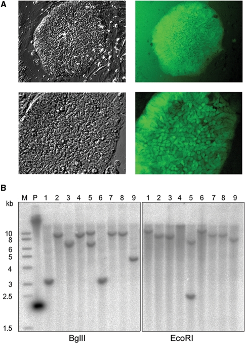 Analysis of transpososome-mediated gene delivery into human ES cells. ( A ) Expression of eGFP. Human ES cell line FES29 was electroporated with Puro-eGFP-Mu transposons and selected for 2 days with puromycin. Surviving fluorescent colonies were isolated and further cultured as clonal cell lines for several passages. Most of the colonies of the clonal isolates showed uniform GFP expression. Two example clones are shown in the phase contrast (left) and fluorescent (right) micrographs. ( B ) Southern analysis of the insertions into the hES cell genome. Genomic DNA of nine puromycin-resistant hES cell clones was digested with BglII (left) or EcoRI (right) and probed with labeled Puro-eGFP-Mu transposon DNA. (Lane P) Undigested genomic DNA of clone 2 spiked with transposon DNA as a positive control. (M) Size marker.