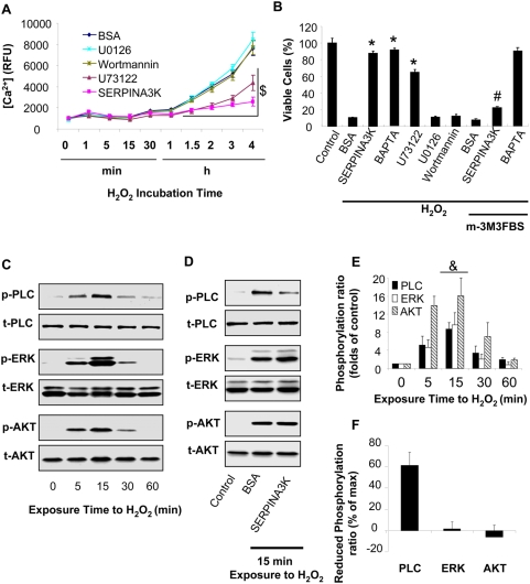 <t>SERPINA3K</t> inhibits the H 2 O 2 -induced calcium overload and necrosis via PLC but not the ERK or PI3K/Akt pathways. (A) The rMC-1 cells were treated with 400 µM H 2 O 2 in the presence of 1 µM SERPINA3K, 250 nM U73122 (PLC inhibitor), 10 µM U0126 (ERK inhibitor), 100 nM Wortmannin (PI3K inhibitor) or 10 µM BAPTA. BSA (1 µM) was used as negative control. Intracellular [Ca 2+ ] was measured using the fluorescence of the probe Fluo-4/AM at different intervals of the treatment (mean±SEM, n = 6). (B) The protective effects of the inhibitors and 1 µM SERPINA3K against the H 2 O 2 -induced cell death with or without 10 µM m-3M3FBS (PLC activator) were quantified by the MTT assay after exposure to H 2 O 2 for 8 h (mean±SEM, n = 3). (C) The rMC-1 cells were treated with 400 µM H 2 O 2 . The cells were harvested at different time points for Western blotting. (D) The cells were exposed to H 2 O 2 for 15 min in the presence of 1 µM SERPINA3K or BSA. The phosphorylated PLC-γ1 (p-PLC), ERK1/2 (p-ERK) and Akt (p-AKT) were blotted with phosphorylation-specific antibodies. The total PLC-γ1 (t-PLC), ERK1/2 (t-ERK) and Akt (t-AKT) were blotted with antibodies for total proteins. (E) Protein levels was quantified using densitometry of the Western blotting results (mean±SEM, n = 3). (F) The reduced phosphorylation level of each kinase was shown as percentages of the maximum phosphorylation levels at 15 min exposure (mean±SEM, n = 3). $ P