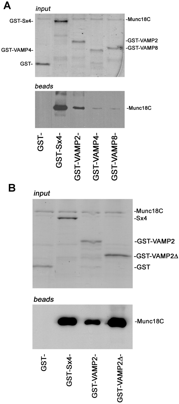 Munc18c binds directly to the cytosolic domains of Syntaxin 4 and VAMP2. (A) 5 µg of either GST, or GST fused to the cytosolic domain of Sx4, VAMP2, VAMP 4 or VAMP 8, immobilised on glutathione Sepharose were incubated overnight at 4 C with 5 µg His-tagged Munc18c in a volume of 500 µl. After extensive washing in binding buffer, SDS-PAGE and immunoblot analysis was used to determine which of the GST proteins Munc18c had bound to. Upper panel represents a Coomassie stained gel of input proteins; lower panel shows an immunoblot for bound Munc18c (B) The ability of Munc18c to bind to a version of GST-VAMP2 harbouring only the SNARE motif of the v-SNARE was assessed as in (A). Data are representative of four experiments of this type.