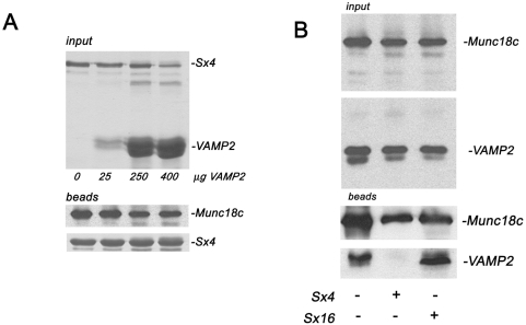 Syntaxin 4 disrupts the interaction of Munc18c with VAMP2. (A) 5 µg of M18c was immobilised on Ni-NTA agarose and incubated overnight with an excess (10 µg) of Sx4 cytosolic domain (residues 1–273) (final concentration 0.7 µM Munc18c, 3.3 µM Sx4 in the initial incubation). After extensive washing, the pre-formed complex was subsequently incubated with increasing concentrations of VAMP2 cytosolic domain (residues 1–92) as indicated. Upper panel shows a Coomassie stained gel of the input proteins; lower panel shows an immunoblot of the beads probed with anti-Munc18c, or stained with Coomassie to show levels of Sx4. (B) 5 µg of M18c was immobilised on Ni-NTA agarose and incubated overnight with an excess (10 µg) of VAMP2 cytosolic domain (final concentration 0.7 µM Munc18c, 7 µM VAMP2 in the initial incubation). The upper panel (input) shows an immunoblot analysis of these beads after extensive washing confirming the presence of both Munc18c and VAMP2. This preformed complex was then incubated alone or with 250 µg of Sx4 cytosolic domain or (as a control) 250 µg Sx16 cytosolic domain (residues 1–269) (both t-SNAREs at a final concentration 16.7 µM), as indicated. Immunoblot analysis was again used to determine the amount of Munc18c and VAMP2 that remained bound following this challenge (lower panel). Data shown are representative of three experiments of this type.