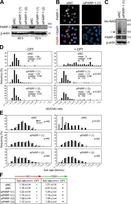 Effects of PARP-1 knockdown on kinetics of replication forks. (A and B) Evaluation of PARP-1 knockdown in HeLa cells. The amount of PARP-1 in cells transfected with two different siRNA duplexes against PARP-1 and negative control siRNA (siNC) was evaluated by Western blotting (A) and immunofluorescence (B). β-Actin was used as a loading control. (C) Poly-ADP ribosylated proteins were detected as shown in Fig. 1 B . The arrow indicates the molecular mass of PARP-1. (D) Distribution of the ratio of the rate of fork progression in cells transfected with each siRNA. (E) Distribution of the rate of fork progression during IdU and CldU pulse labeling in cells transfected with each siRNA. (F) The tabular data are mean fork rates for each cell treated as indicated. The mean rates were calculated from the data described in E. Bar, 10 μm.