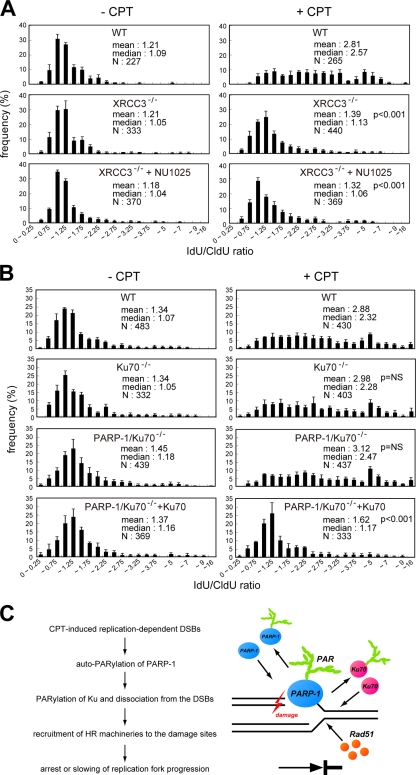 Recovery of the lower rates of fork progression in the presence of CPT in PARP-1 mutant is not observed under the deficiency of NHEJ capacity. (A and B) Distribution of the ratio of the rate of fork progression during <t>IdU</t> and <t>CldU</t> pulse labeling in each indicated DT40 cell. The total number of the forks analyzed in each cell is also indicated. (C) Model illustrating how PARP-1 affects replication fork progression on damaged DNA. Data bars are the means of three independent experiments, and error bars represent SEM. WT, wild type.