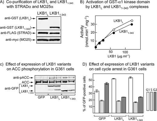 Effect of C-terminal truncation of LKB1 on AMPK activation in cell-free assays and ACC phosphorylation and cell cycle progress in G361 melanoma cells. A , plasmids encoding GST fusions of wild type LKB1 L and a C-terminal truncation (1–343) were co-expressed with FLAG-STRADα and myc -MO25α in HEK-293 cells and purified on glutathione-Sepharose. The purified products were analyzed by Western blotting using anti-GST, anti-FLAG, and anti- myc antibodies. B , a bacterially expressed GST fusion of the AMPK-α1 kinase domain was incubated with MgATP and various concentrations of GST-LKB1·FLAG-STRADα· myc -MO25α complex purified as in A , and AMPK activity was determined after 15 min. C , phosphorylation of the AMPK target, ACC, total ACC, and expression of GFP-LKB1 assessed using an anti-GFP antibody, in G361 cells co-expressing STRADα and MO25α with free GFP (control) or GFP fusions of wild type LKB1L and a C-terminally truncated mutant (1–343). D , cell cycle analysis of GFP-expressing cells treated as in Fig. 5 C , 18 h after nocodazole treatment.