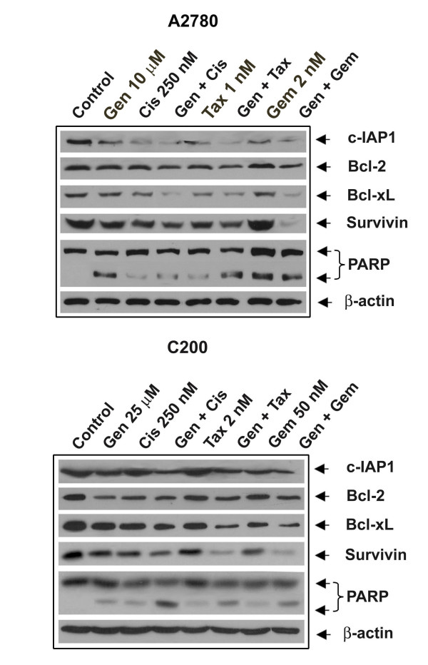 The expression of <t>c-IAP1,</t> Bcl-2, Bcl-xl, survivin and PARP in A2780 and C200 cells . Cells untreated or treated with 10 or 25 μM genistein (Gen), 250 nM cisplatin (Cis), the combination (Gen + Cis), 1 or 2 nM taxotere (Tax), the combination (Gen + Tax), 2 or 50 nM gemcitabine (Gem) and the combination (Gen + Gem). β-actin antibodies were used as internal controls for equal loading of proteins. Significant down-regulation of c-IAP1, Bcl-2, Bcl-xl, survivin and PARP was observed in A2780 and C200 cells treated with the combination of genistein and either cisplatin, gemcitabine or taxotere compared to cells treated with either drug alone.