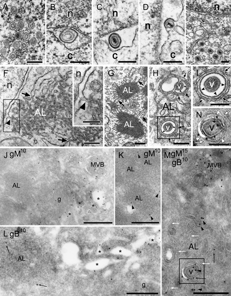 Electron micrographs showing the primary envelopment and nuclear egress of HHV-6 capsids and the formation of AL in HHV-6-infected cells A–I) Ultrathin sections of Epon-embedded cells. J–N) Ultrathin cryosections. A–E) Translocation of capsids from the nucleus (n) to the cytoplasm (c). Intranuclear capsids (A), budding of a capsid from the inner nuclear membrane (primary envelopment) (B), a primary enveloped virion in the cisternal space of the nuclear membrane (C), fusion of primary envelope with the outer nuclear membrane (D) and translocation of the capsids into the cytosol (E). F–I) AL were clearly detected near the nuclear membrane of an infected cell (F). The boxed area in (F) is shown in the inset. The outer membrane of the nuclear envelope was closely associated with the membrane of AL [arrowheads in (F) and the inset in (F)]. Membrane association was also seen between AL and the rough endoplasmic reticulum [arrows in (F and G)]. Note that vesicular or tubular membranes that enwrapped or surrounded virions [arrowheads in (H and I): the boxed area in (H)] were distinct from the membranes of AL cisternae [arrows in (H and I)]. Immunolabeling of gM (J and K) or gB (L) (10 nm) and double immunolabeling of gM (15 nm) and gB (10 nm) (M) on ultrathin cryosections. Gold particles indicating gM- and/or gB-labeled virions (v) and small vesicles located in tubulo-vacuoles (asterisks) in the Golgi complex (g) and MVB but not in AL in the cells. Arrowheads indicate gM and arrows indicate gB (M and N). The boxed area in (M) is shown in (N). AL cisternae are indicated by white arrows. Gold particles indicating gM (black arrowheads) and gB (black arrows) were localized in a virion and the membrane of the vacuole containing the virion [the boxed area in (M) and white arrowheads in (N)] but not in AL cisternae surrounding the vacuole [white arrows in (N)]. Scale bars: 0.3 μm (A–H), 0.2 μm [inset in (F, I and N)] and 0.5 μm (J–M).
