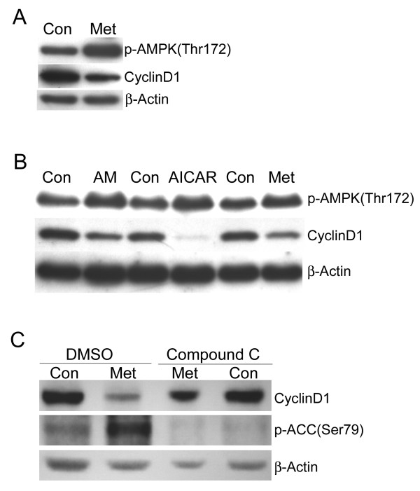 Downregulation of cyclin D1 corresponds to activation of AMP-activated protein kinase . A . MCF7 cells were treated with (Met) or without (Con) metformin for 1.5 days and then western blotting was performed to detect active phospho-AMPK, cyclin D1, and β-actin. B . MCF7 cells were treated with antimycin A (AM, 1 μM), AICAR (4 mM), or metformin (8 mM) for 1.5 days. Control cells (Con) were treated with the appropriate vehicle for each reagent. Western blotting was performed to detect active phospho-AMPK, cyclin D1, and β-actin. C . MCF7 cells were pretreated with DMSO (vehicle) or the AMPK-specific inhibitor compound C (20 μM) for 1 day and then treated with (Met) or without (Con) metformin for 1.5 days. Western blotting was performed to detect cyclin D1 or the phosphorylated form of the AMPK substrate ACC. β-actin was used as a loading control.