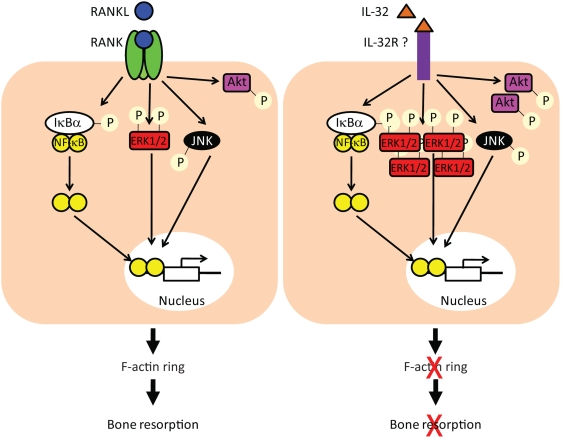 Schematic representation of downstream pathways activated by RANKL or IL-32 treatment. The discrepancy observed between IL-32 and RANKL signalling pathways (i.e. increased ERK1/2 and Akt activation by IL-32) may lead to the activation of different downstream targets which in turn could contribute to the inability of cells to express F-actin ring and resorb in response to IL-32.