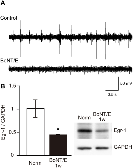 Effects of BoNT/E on cortical activity and Egr-1 expression level in visual cortex. (A) Examples of spike activity in rat visual cortex contralateral (upper trace, Control) and ipsilateral (lower trace, BoNT/E) to BoNT/E injection site recorded 1 week after injection. BoNT/E blocked neuronal activity only in the injected cortex. (B) Egr-1 expression level is significantly decreased in the BoNT/E injected cortex. The upper right panel shows examples of immunoblots for Egr-1 in the visual cortex of normal rats (Norm) and that 1 week after BoNT/E injection. Blot densities were normalized to those of GAPDH and expressed as the ratio to those of Egr-1 in normal animals. Error bars indicate SEM. *: P