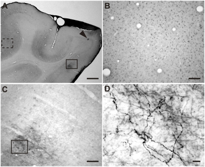 Example of labeled axons in BoNT/E-treated visual cortex. (A) Low-magnification image of coronal section across visual cortex of BoNT/E-injected kitten. An arrowhead indicates the BoNT/E injection site. (B, C) High-magnification view of two regions in A far from (dotted line, B) and close to (solid line, C) the injection site. Egr-1 signal is detectable in the area far from the injection site (B), whereas the signal is very low in the area near the injection site (C). The staining at the lower-left in C represents labeled axons. (D) Enlarged view of geniculocortical axons in BoNT/E inactivated area (box in C). Scale bar, A: 1 mm, B, C: 100 µm, D: 10 µm.