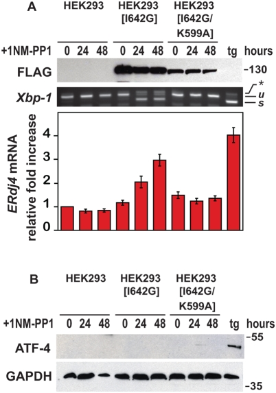Selective and specific activation of IRE1 signaling. (A) Parental wild-type and transgenic HEK293 cells expressing the Ire1[I642G] , or Ire1[I642G/K599A] allele were treated for the indicated times with 1NM-PP1 (1 µM), and wild-type cells were treated for 4 hours with thapsigargin (tg) (300 nM). IRE1[I642G] and IRE1[I642G/K599A] protein was detected by immunoblotting for the FLAG epitope. GAPDH levels were assessed as a protein loading control. Xbp1 mRNA splicing was determined by RT-PCR. The unspliced ( u ) and spliced ( s ) Xbp1 mRNA products are indicated as labeled. ERdj4 mRNA levels were measured by quantitative PCR, normalized to Rpl19 mRNA levels, and are shown relative to levels in untreated cells. (B) Parental wild-type and transgenic HEK293 cells expressing the Ire1[I642G] or Ire1[I642G/K599A] alleles were treated for the indicated times with 1NM-PP1 (1 µM); wild-type cells were also treated for 4 hours with thapsigargin (tg) (300 nM). ATF4 protein was detected by immunoblotting. GAPDH levels were assessed as a protein loading control.