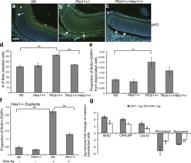 Shh-mediated RPC proliferation and cell fate specification requires Hes1 . (a–c) In vivo anti-pH3 staining of the central retina adjacent to the optic nerve (asterisks) in P5 wild-type (Wt), PtchlacZ +/− , and PtchlacZ +/− Hes1 +/− retinas. Arrows indicate pH3-positive cells. Note that pH3+ cells in the vicinity of the optic nerve are rare in Wt and compound heterozygous mice. Bar, 100 μm. (d) Quantitative analysis of BrdU incorporation in vivo from P5 Wt ( n = 3), Hes1 +/− ( n = 3), PtchlacZ +/− ( n = 3), and PtchlacZ +/− Hes1 +/− ( n = 6) retinas. Values represent the mean number of BrdU-positive cells counted from three sections per animal. (e) Quantification of the proportion of BrdU + cells in single-cell dissociates from the retinas of Wt ( n = 5), Hes1 +/− ( n = 3), PtchlacZ +/− ( n = 8), and PtchlacZ +/− Hes1 +/− ( n = 7) retinas at P5. (f) Retinal explants from Hes1 −/− ( n = 3) or Wt ( n = 3) animals were treated with a Smo agonist for 3 d, dissociated, and scored for the proportion of BrdU + DAPI + cells. (g) Quantitative analysis for BrdU, CRALBP, Chx10, rhodopsin, and recoverin-positive cells in Smo agonist–treated P0 retinal explants electroporated with GFP and Hes1DN. Values are based on scoring marker+ cells among the transfected cohort in dissociates from retinal explants and represent the fold induction of double-positive (marker+GFP+) cells in GFP + Ag and Hes1DN + Ag cultures compared with double-positive cells in GFP-transfected untreated explants. There is no difference in proliferation or cell type composition in GFP and Hes1DN-transfected cells in untreated explants. Error bars represent SEM. *, P