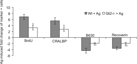 Gli2 is required for the Shh effects on proliferation and cell fate. Retinal explants were cultured from wild-type (Wt; n = 3) and Gli2 −/− ( n = 3) mice at E18 for 3 d in culture with or without a Smo agonist. IHC was performed on dissociated cells using anti-BrdU, anti-CRALBP, anti-rhodopsin, and anti-recoverin antibodies. Values represent the fold induction of positive cells in Wt + Ag or Gli2 −/− + Ag cultures compared with nontreated explants. Error bars represent SEM. *, P