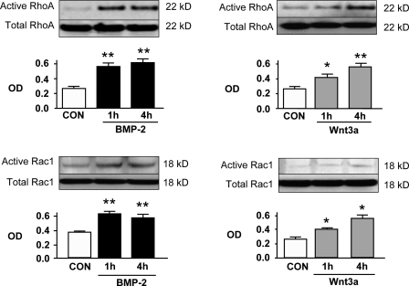 BMP-2 and Wnt3a increase levels of active RhoA and Rac1 in hPAECs. Active RhoA and Rac1 pull-down experiments were performed on hPAECs starved for 24 h followed by incubation with 10 ng/ml BMP-2 or 100 ng/ml Wnt3a for 1 and 4 h. Representative immunoblots for RhoA and Rac1 are shown along with densitometry. Levels of active RhoA and Rac1 were measured against total RhoA and Rac1 in cell lysates. Error bars denote mean ± SEM for three different experiments with triplicate assessments. *, P
