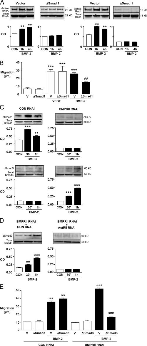 Recruitment of Dvl by BMP-2 requires Smads and is independent of BMPRII functional status. (A) Active RhoA and Rac1 pull-down experiments on hPAEC nucleofected with either vector or dominant-negative (Δ) Smad1 construct and incubated with 10 ng/ml BMP-2 were analyzed as described in Fig. 6 . **, P