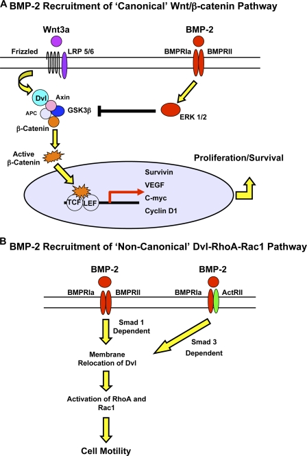 Schema illustrating that regulation of proliferation, survival, and migration in hPAECs depends on cross talk between BMP and Wnt pathways. (A) BMP-2 and Wnt3a promote an increase in β-C–mediated transcriptional activity and up-regulate gene targets involved in proliferation and survival. (B) However, migration is the result of a Smad1 or, with reduced BMPRII, a Smad3-dependent recruitment of Dvl, which allows selective activation of RhoA, Rac1, and downward targets involved with cytoskeletal reorganization and cell motility.