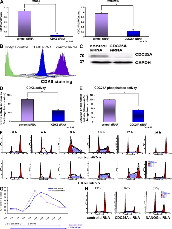 CDK6 and CDC25A regulate S phase in hESCs. (A) Quantitative RT-PCR analysis for the expression of CDK6 and CDC25A in H1, H9, and hES-NCL1 cell lines 42 h after the transfection of CDK6 and CDC25A siRNA. The data represent the mean ± SEM (error bars) from three independent experiments (one in each cell line). The value for the control siRNA was set to 1, and all other values were calculated with respect to this. (B) Down-regulation of CDK6 by flow cytometry 42 h after the transfection of CDK6 siRNAs in hESCs (a representative example from the H9 line is shown). (C) Down-regulation of CDC25A by Western blotting 42 h after the transfection of CDC25A siRNAs (a representative example from the H9 line is shown). Molecular masses are indicated in kilodaltons. (D) Reduction in CDK6 kinase activity upon knockdown of CDK6. The value for the control siRNA was set to 100%, and all other values were calculated with respect to this. (E) Reduction in CDC25A phosphatase activity upon knockdown of CDC25A. The value for the control siRNA was set to 100%, and all other values were calculated with respect to this. (D and E) The data represent the mean ± SEM from three experiments performed in the H9 cell line. (F) Flow cytometry images showing movement of cells through the cell cycle after transfection of CDK6 siRNAs and synchronization by nocodazole for 18 h assessed by propidium iodide staining. (G) Chart representation of the fraction of cells in S phase over time after transfection of CDK6 siRNA and synchronization by nocodazole for 18 h assessed by propidium iodide staining. (H) Flow cytometry images showing retention of cells in G1 phase of the cell cycle after transfection of CDC25A siRNA and NANOG siRNA and synchronization by nocodazole for 18 h assessed by propidium iodide staining. (F–H) The figures represent an example of at least two independent experiments performed in the H9 subline.
