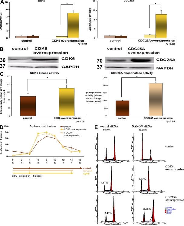 Overexpression of CDK6 and CDC25A accelerates S-phase completion. (A) Quantitative RT-PCR for endogenous (left bars) and total (right bars) expression of CDK6 and CDC25A in the H9 hESC line. The data represent the mean ± SEM (error bars) from three independent experiments. The value for the control clone was set to 1, and all other values were calculated with respect to this. (B) Overexpression of CDC25A and CDC25A shown by Western blotting. GAPDH is used as a loading control (a representative example from the H9 line is shown). Molecular masses are indicated in kilodaltons. (C) Increase in CDK6 kinase activity and CDC25A phosphatase activity in CDK6- and CDC25A-overexpressing hESC sublines, respectively. The value for the control subline was set to 100%, and all other values were calculated with respect to this. The data represent the mean ± SEM from three experiments performed in the H9 cell line. (D) Chart representation of the fraction of cells in S phase over time in CDK6- and CDC25A-overexpressing hESC sublines assessed by propidium iodide staining (a representative example from the H9 subline is shown). (E) Flow cytometry images showing cell cycle distribution in H9 control as well as H9 CDK6 and H9 CDC25A after transfection of control siRNA and NANOG siRNA and synchronization by nocodazole for 18 h assessed by propidium iodide staining. This figure represents an example of at least two independent experiments performed in the H9 subline.