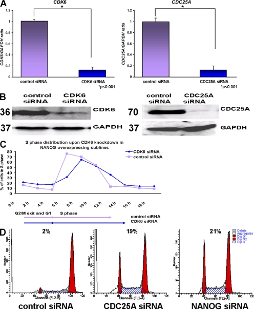 CDK6 and CDC25A are downstream effectors of NANOG. (A) Quantitative RT-PCR analysis showing down-regulation of CDK6 and CDC25A in H1 NANOG, H9 NANOG, and hES-NCL1 NANOG sublines 42 h after the transfection of CDK6 and CDC25A siRNA. The data represent the mean ± SEM (error bars) from three experiments (one in each subline). The value for the control-transfected sample (vector only) was set to 1, and all other values were calculated with respect to this. (B) Western blotting showing down-regulation of CDK6 and CDC25A in H1 NANOG sublines. Molecular masses are indicated in kilodaltons. (C) Chart representation of the fraction of cells in S phase over time after transfection of CDK6 siRNA and synchronization by <t>nocodazole</t> for 18 h in the H9 NANOG subline assessed by propidium iodide staining. This figure represents an example of at least two independent experiments carried in the H9 subline. (D) Flow cytometry images showing retention of cells in G1 phase of the cell cycle after transfection of CDC25A and NANOG siRNAs and synchronization by nocodazole for 18 h in the H9 NANOG subline assessed by propidium iodide staining. This figure represents an example of at least two independent experiments performed in the H9 subline.