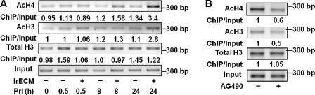 Sustained activation of STAT5 is required for histone acetylation in the β-casein promoter. (A and B) ChIP assays measuring the acetylated histone levels in the β-casein promoter. (A) EpH4 cells on polyHEMA were treated with Prl or Prl plus 2% lrECM for different times before the analysis. (B) EpH4 cells were treated with AG490 to block the sustained STAT5 activation as shown in Fig. 4 A before the ChIP analysis. The PCR results were quantified by AlphaEaseFC software, and the values of ChIP DNA were normalized to input DNA. Fold enrichments were determined by dividing the normalized values from treated cells by that of untreated cells.