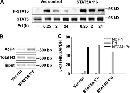 Constitutively active STAT5 induces chromatin remodeling and β-casein expression in the absence of laminin-111 signals. (A–C) Introducing constitutively activated STAT5A/B (STAT5A/B 1*6) is sufficient to induce chromatin remodeling and β-casein transcription in the absence of lrECM on polyHEMA. EpH4 cells infected with retrovirus (vector control) or expressing STAT5A/B 1*6 were treated with Prl and 2% lrECM on polyHEMA for 24 h. (A) Phosphorylation of STAT5 was detected by Western blot assays. (B) ChIP analysis of levels of acetylated histone H4 at β-casein promoter. (C) The mRNA levels of β-casein were measured by real-time RT-PCR.