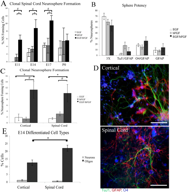 Spinal cord derived NSCs respond to mitogens in a similar fashion to cortical derived NSCs but produce more oligodendrocytes. (A) Secondary spinal cord clonal neurosphere formation from embryonic day 11, 14, 17 and post-natal day 0, in the presence of EGF or bFGF alone and in EGF and bFGF combined. (B) The percentage of E14 clonal secondary spinal cord derived neurospheres that contain cells that express markers of neurons, astrocytes and/or oligodendrocytes; (3×) indicates neurospheres containing all 3 cell types. (C) E14 secondary clonal neurosphere formation from cortical and spinal cord derived neurospheres in differing mitogen conditions. (D) Differentiated E14 clonal secondary cortical and spinal cord derived neurospheres express markers of neurons (TuJ1- Green), oligodendrocytes (O4- Blue) and astrocytes (GFAP- red). (E) Percentage of cells expressing Tuj1 (neurons) or O4 (oligodendrocytes) present in secondary embryonic day 14 differentiated cortical and spinal cord derived neurospheres. Bars are mean±SEM of at least 3 independent experiments. * P