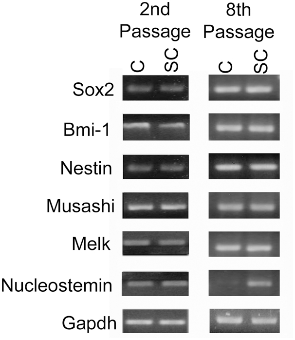 Stem cell associated genes are expressed in cortical and spinal cord derived neurospheres and maintained for multiple passages: RT-PCR on E14 cortical and spinal cord derived neurospheres that had been cultured in EGF and bFGF for 2 and 8 passages. Abbreviations: Cortical (C) Spinal Cord (SC).
