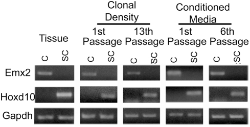Regional gene expression is maintained in vitro and is cell intrinsic. RT-PCR of Emx2 and Hoxd10 expression in E14 cortical and spinal cord tissue and neurospheres at first and 13 th passage (clonal density). Emx2 and Hoxd10 expression in E14 cortical and spinal cord neurospheres that had been cultured in media that was conditioned by neurospheres from the opposing region and passaged 1 and 6 times (conditioned media).