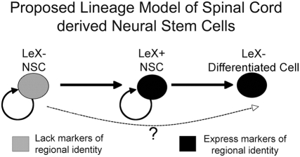Lineage relationship of spinal cord derived NSCs. LeX− NSCs derived from the spinal cord can give rise to LeX+ and LeX− NSCs. LeX− NSCs do not express markers of regional identity while LeX+ NSCs express markers indicative of spinal cord identity. LeX− cells derived from LeX+ cells are not able to generate new clonal neurospheres and are likely differentiated cells. It is not clear whether LeX− NSC must pass through a LeX expressing stage prior to differentiation.