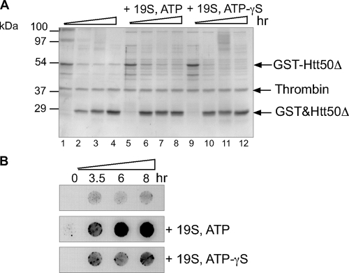 The 19S enhances mutant Htt aggregation in vitro . A , time course of proteolysis of GST-Htt50ΔC with or without 19S and ATPγS. 0.5 μ m GST-Htt50Δ was cleaved with 10 units of thrombin in the absence or presence of 70 n m 19S and 15 m m ATPγS. Aliquots of the reaction were analyzed after 3.5, 6, or 8 h at 37 °C by SDS-PAGE stained with Coomassie Brilliant Blue. Note that GST and Htt50Δ co-migrate. B , samples shown in A were analyzed by filter retardation assays and revealed with Htt antibodies.