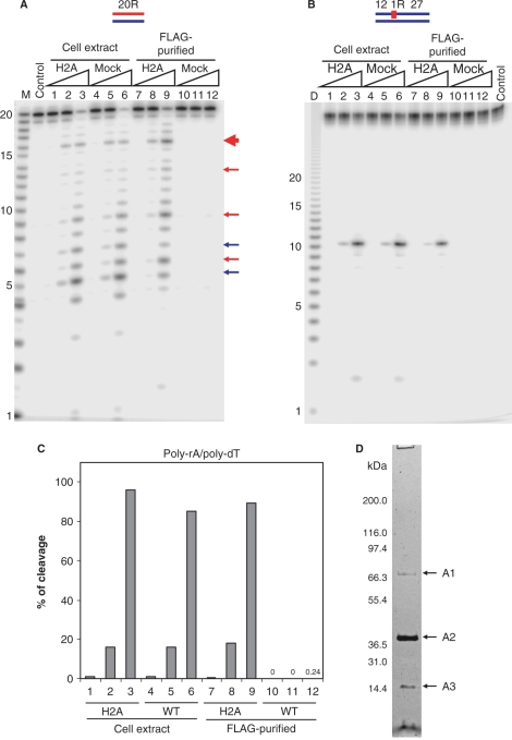 <t>RNase</t> H activity in cell extracts and FLAG-tag purified fractions from RNASEH2A expressing and untransduced HeLa cell lines. The 5′-end 32 P-labeled 20-bp RNA/DNA hybrid ( A ) and DNA 12 –RNA 1 –DNA 27 /DNA 40 hybrid ( B ) were cleaved with increasing amounts of the total cell extracts and FLAG-tag purified fractions from RNASEH2A expressing cells (H2A) and untransduced cells (mock) at 37°C for 15 min. The 500 μl cell extracts from 10 7 cells yielded 200 μl of FLAG-purified samples as described in Materials and methods section. Ten picomoles of substrates were treated with 1 μl of the samples in 10 μl of reaction mixtures. Protein samples were diluted in Dilution Buffer. Lanes 1, 4, 7 and 10 contained 0.002 μl equivalents of the undiluted sample, lanes 2, 5, 8 and 11 contained 0.02 μl equivalents and lanes 3, 6, 9 and 12 contained 0.2 μl equivalents. After digestion the reactions were electrophoresed in a 20% TBE-urea PAGE and the gel analyzed on a phosphoimager. Note (B) the mobilities of the DNA 12 product of DNA 12 –RNA 1 –DNA 27 /DNA 40 migrates faster than the RNA size markers due to inherent differences in migration in the gels between RNA and DNA. In (A), major cleavage sites of 20-bp RNA/DNA hybrid with RNase H1 and <t>RNase</t> H2 are indicated with blue and red arrows, respectively. The main cleavage product of RNase H2 is indicated by a thick red arrow. Molecular size markers are indicated as M (products of digestion of 32 P-labeled 20-mer RNA by Phosphodiesterase I) (measuring the sites of cleavage from the 5′- label of the 20-mer RNA) and D (products of digestion of 32 P uniformly labeled poly-rA/poly-dT by mouse RNase H1) (measuring the sizes of products that have uniform sequences). ( C ) Uniformly 32 P-labeled poly-rA/poly-dT (1 μM) was cleaved with increasing amount of the total cell extracts and FLAG-tag purified fractions. Amounts of samples in lanes 1–12 are equivalent to those of (A). The ratios of cleavage products were determined by mea