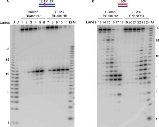 Comparison of cleavage pattern of short substrates with human RNase H2 and E. coli RNase HII. The 5′-end 32 P-labeled DNA 12 –RNA 1 –DNA 27 /DNA 40 hybrid ( A ) and 20-bp RNA/DNA hybrid ( B ) were cleaved with human RNase H2 and E. coli RNase HII at 37°C for 15 min. The reaction volume was 10 μl and the substrate concentration was 1 μM. Amounts of proteins for human RNase H2 were 1.2 fmol (lanes 2 and 14), 12 fmol (lanes 3 and 15), 120 fmol (lanes 4 and 16), 1.2 pmol (lanes 5 and 17), 12 pmol (lanes 6 and 18). The amounts of protein for E. coli RNase HII were 7.6 fmol (lanes 8 and 20), 76 fmol (lanes 9 and 21), 760 fmol (lanes 10 and 22), 7.6 pmol (lanes 11 and 23), 76 pmol (lanes 12 and 24). Lanes 1, 7, 13 and 19 contained no enzymes. The digested products were analyzed by 20% TBE-urea PAGE. Molecular size markers are indicated as M (products of digestion of 32 P-labeled 20-mer RNA by Phosphodiesterase I) and D (products of digestion of 32 P-labeled poly-rA/poly-dT by mouse RNase H1).