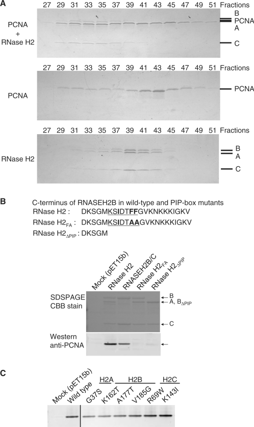 Physical interaction of RNase H2 with PCNA. ( A ) Physical interaction between RNase H2 and PCNA was analyzed using gel filtration column chromatography. Mixture of RNase H2 and PCNA (top), PCNA alone (middle) and RNase H2 alone (bottom) were analyzed on the gel filtration column. The indicated fractions were subjected to 10–20% gradient SDS–PAGE and the proteins were visualized by CBB. A representative result is shown in this figure. A, B, C, and PCNA mark the migration of RNASEH2A, RNASEH2B, RNASEH2C and PCNA, respectively. ( B ) PCNA interacts with C-terminal tail of RNASEH2B: Bacterial lysate containing untagged PCNA was incubated with bacterial lysates containing His-tagged wild-type RNase H2 A/B/C complex, B/C complex, mutant A/B/C complex with two F to A mutations in PIP-box (RNase H2 FA ) and mutant A/B/C complex with PIP-box deleted (RNase H2 ΔPIP ). Pulled-down samples were analyzed by SDS–PAGE with CBB stain and western blotting with anti-PCNA antibody. ( C ) AGS-related mutations do not affect physical interaction between RNase H2 and PCNA: Bacterial lysate containing untagged PCNA was incubated with bacterial lysates containing His-tagged wild-type RNase H2 and mutant RNase H2 with AGS-related mutations. Pulled-down samples were analyzed by western blotting with anti-PCNA antibody.