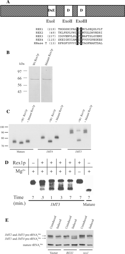 Rex1p displays tRNA 3′end processing activity in vivo and in vitro . ( A ) A diagram of Rex1p showing the conserved amino acids found in the three Exo motifs. An alignment of Rex1, 2, 3 and 4, and E. coli RNase T protein sequence is shown underneath to illustrate the conservation of the D × E sequence found in the ExoI domain. ( B ) Wt and mutant FLAG-tagged Rex1p were purified from yeast (strains Y438 and Y495, respectively) using affinity chromatography. Purified protein was subjected to SDS-PAGE and visualized by Coomassie staining. The positions of molecular weight standards (Broad Range Protein Marker, New England Bioloabs) are indicated. ( C ) Gel purified 32 P- 5′ end labeled tRNAs i Met (∼ 10 pM) were incubated in buffer alone or with Wt or mutant Rex1p (∼7.5 nM) at 30°C for 10 min. Reaction products were separated on a 10% denaturing polyacrylamide gel and visualized by autoradiography. The positions of RNAs of known length (Decade Marker, Ambion) are indicated (in nucleotides). ( D ) Wt Rex1p (∼7.5 nM) was incubated with labeled ' IMT3 ' tRNA i Met (∼20 pM) for known periods of time from 0.5–7 min, as indicated. Control reactions with ' IMT3 ' tRNA i Met lacking either enzyme or Mg 2+ are shown, as well as a control reaction lacking enzyme that contained the 'mature' tRNA i Met . After separation on a denaturing 10% polyacrylamide gel, results were visualized using phosphorimaging. ( E ) Northern analysis of total RNA (10 μg) isolated from a trm6-504 rex1Δ strain carrying an empty vector (pRS316), or a plasmid with galactose-inducible Wt REX1 (pAV101) or mutant rex1 (p532), grown under non-inducing or inducing conditions. The blot was probed with a radiolabeled oligonucleotide complementary to tRNA i Met (JA11) and the results visualized using autoradiography.