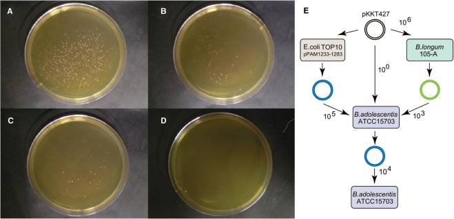 Comparison of PAM effects on transformation efficiencies. ( A–D ) Bifidobacterium adolescentis ATCC15703 was transformed by electroporation using the PAM method. The plasmid pKKT427 was prepared from E. coli TOP10 carrying pPAM1233-1283 ( A ), pPAM1233 ( B ), pPAM1283 ( C ) or without pPAM plasmid ( D ). An alkaline-SDS method using purification by agarose gel electrophoresis was used to isolate the PAM plasmids which were then introduced into B. adolescentis ATCC15703 by electroporation, as described previously ( 6 ). The electroporated samples were 100 times diluted in (A–C ) , but not in D. ( E ) Schematic presentation of transformation efficiencies. Plasmid pKKT427 was prepared from the PAM host (blue), B. longum 105-A (green) or B. adolescentis ATCC15703. The numbers beside arrows indicate transformation efficiencies (CFU/µg DNA).