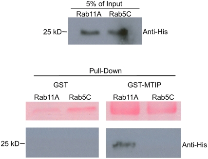 PfRab11A associates with PfMTIP in vitro . The purified recombinant proteins PfRab11A-His and PfRab5C-His (top panel) were mixed with GST or GST–MTIP (bottom panel). Anti-His antibodies (Santa Cruz) were used to detect pulled-down His-tagged Rab protein and only PfRab11A associates with PfMTIP. The upper panel of the pull down correspond to Ponceau S stain of the membrane to demonstrate loadings of GST and GST-MTIP, respectively.