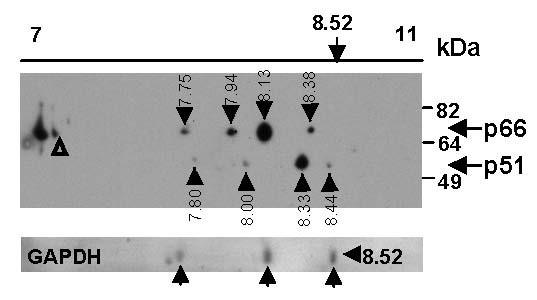 2D gel electrophoresis analysis of recombinant RT identifies protein isoforms . Recombinant RT LAI + GAPDH protein (3 μg each) was solubilised in 2D gel electrophoresis buffer, focussed on a pH 7–11 non-linear, 11 cm Immobiline DryStrip gel then resolved on a 10% acrylamide SDS-PAGE gel followed by transfer to PVDF membranes. RT was detected by Western blot using an anti-RT antibody (upper panel) and GAPDH detected by Coomassie stain (lower panel). RT isoforms are designated by black arrows and calculated pI indicated. Position of triangles (Δ) denote the reference marks used for calculation of pI.