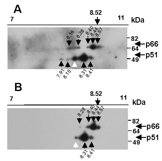 Phosphatase treatment alters the RT isoforms detected . H3B and Hut-78 cells were mixed and incubated at 37°C for 40 mins, cells were then lysed and virus protein immunoprecipitated using heat-inactivated AIDS patient antibody cross-linked to protein A sepharose beads. Immunoprecipitates were incubated without (A) or with (B) calf intestinal alkaline phosphatase (CIAP), proteins pelleted, washed and subjected to 2D gel electrophoresis on a pH 7–11 non-linear, 11 cm Immobiline DryStrip gel along with 3 μg of GAPDH protein, and then resolved by SDS-PAGE. RT was detected by Western blot using an anti-RT antibody. RT isoforms are designated by a black arrow and spots not routinely observed are indicated by a white arrow. Experiments were replicated (n = 3).