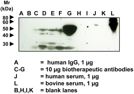 Detection of Neu5Gc on Some FDA-Approved Biotherapeutic Antibodies. Biotherapeutic agents, human IgG (Jackson Immunoresearch), human serum and bovine serum samples were run on a 12.5% SDS-PAGE gel and transferred onto a nitrocellulose membrane. The membrane was blocked overnight at 4°C with 0.5% gelatin from cold water fish skin (Sigma) in TBST. The membranes were incubated at room temperature for 2 hr with the affinity-purified chicken anti-Neu5Gc diluted 1∶100,000 in TBST with 0.5% gelatin from cold water fish skin or with a control non-specific Chicken IgY antibody pool (Jackson ImmunoResearch) at the same protein concentration. The membranes were washed with TBST and then incubated with Donkey anti-chicken HRP (Jackson ImmunoResearch) 1∶50,000 in TBST with 0.5% gelatin from cold water fish skin and 1% human serum at room temperature for 1 hr. The membranes were washed again and incubated with Pierce SuperSignal West Pico Substrate (Pierce) as per manufacturer's recommendation, exposed to X-ray film and the film developed. A, human IgG 1 µg; B, blank lane; C–G, 10 µg each of various FDA-approved biotherapeutic IgG molecules; H and I, blank lanes; J, human serum, 1 µg; K, blank lane; L, bovine serum, 1 µg.
