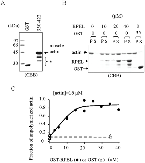 The RPEL repeats of scapinin interact with purified skeletal muscle actin and inhibit actin polymerization in vitro . ( A ) GST or GST-RPEL repeats (350–422 aa) were covalently conjugated to CNBr-agarose beads (as in Figure 1C ) and were incubated with purified skeletal muscle actin. After washing with RIPA buffer (0.1% SDS, 0.5% sodium deoxycholate, 1% Nonidet P-40, 50 mM Tris-HCl pH 8.0, 150 mM NaCl), bound proteins were eluted with SDS sample buffer, separated by SDS-polyacrylamide gel electrophoresis, and stained with coomassie brilliant blue (CBB). GST and GST-RPEL proteins (shown by a asterisk) were partly released from the beads by elution with SDS sample buffer. ( B ) Inhibition of actin polymerization by the RPEL repeats. Skeletal muscle actin (18 µM) was incubated with GST- RPEL repeats (350–422 aa) or GST at the indicated concentrations to polymerize at room temperature for 30 minutes, and then filamentous actin (P) and monomeric actin (S) were separated by ultracentrifugation. Aliquots were analyzed by SDS polyacrylamide gel electrophoresis and stained with coomassie brilliant blue (CBB). Since the contamination of supernatants in the pellet fraction was technically inevitable, a small portion of GST-RPEL construct was seen in the pellet. ( C ) The density of each actin band was measured by a densitometer and plotted.