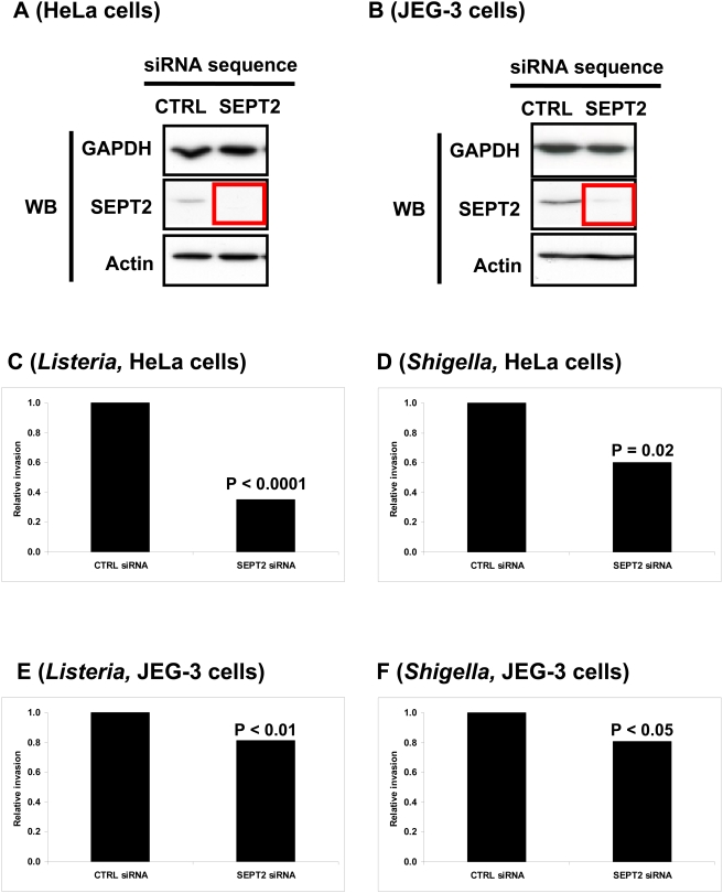 The impact of SEPT2-depletion in HeLa and JEG-3 cells on bacterial entry. (A, B) Western blot (WB) of (A) HeLa cells or (B) JEG-3 cells transfected with siRNA against control (CTRL) or SEPT2. Cell lysates were separated by 10% SDS-PAGE before immunoblotting. The blots were probed with antibodies specific to GAPDH, SEPT2, and actin. GAPDH is shown as a loading control. The red box outlines depleted protein levels for SEPT2. (C–F) SEPT2 regulates the invasion of L. monocytogenes and S. flexneri . Gentamicin survival assays for (C and E) L. monocytogenes EGD or (D and F) S. flexneri M90T were performed in (C and D) HeLa cells or (E and F) JEG-3 cells treated with control (CTRL) siRNA, or siRNA targeted against SEPT2. Graphs represent the relative number of intracellular bacteria found inside siRNA-treated cells after the survival assay, where CFU counts obtained from septin-depleted cells were normalized to CTRL siRNA-treated cells. On the graph CTRL siRNA is figuratively presented as 1, and data represents the mean from n ≥9 experiments. Results were analyzed for statistical significance using the Student's t-test.