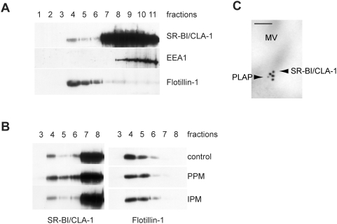 PPM supply induces movement of SR-BI/CLA-1 towards raft microdomains. (A) Caco-2/TC7 cells were harvested in the presence of Triton X-100 and the lysate fractionated on a 5–40% sucrose gradient. Eleven fractions were collected for immunoblots of SR-BI/CLA-1, EEA1 (early endosome antigen 1) and flottilin-1 (raft marker). (B) Caco-2/TC7 cells were cultured in the absence (control) or presence of PPM or IPM for 10 min and then harvested in the presence of Triton X-100. Cell lysates were applied to a 5–40% sucrose gradient and eleven fractions collected. Fractions 3 to 8 were analyzed by immunoblotting with antibodies against SR-BI/CLA-1 (left panel) and flottilin-1 (right panel). (C) Immunolocalization of SR-BI/CLA-1 and alkaline phosphatase (PLAP, used as raft marker) in the brush border of Caco-2/TC7 cells supplied with PPM. SR-BI/CLA-1 is labelled with anti-rabbit immunoglobulin-gold complexes (18-nm particles) and PLAP with anti-sheep immunoglobulin-gold complexes (12-nm particles). MV, microvilli; bar, 100 nm.