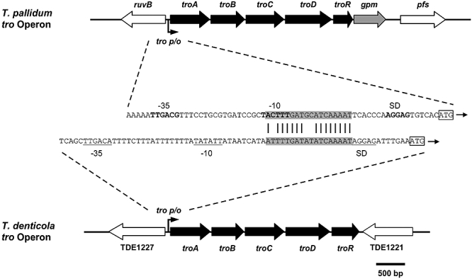 Genetic organization of the T. pallidum and the T. denticola tro operons and sequence alignment of the T. pallidum and T. denticola tro P/O regions located immediately upstream of the troA ORFs. troA is predicted to encode a periplasmic binding protein; troB is predicted to encode the ATP-binding component, while troC and troD are predicted to encode the membrane components of ABC transporters; troR is homologous to a number of genes encoding Gram-positive iron-activated repressor proteins including DtxR and SirR; gpm encodes the glycolytic pathway enzyme, phosphoglycerate mutase. The σ 70 -like promoters (−10 and −35 sequences) are indicated in bold ( T. pallidum ) or underlined ( T. denitcola ). The 18 bp operator motifs are highlighted in grey. Sequence identity between the operators is indicated by vertical lines. Putative ribosome binding sites are in bold ( T. pallidum ) or underlined ( T. denitcola ) and indicated by SD. The troA start codons are indicated by boxes.