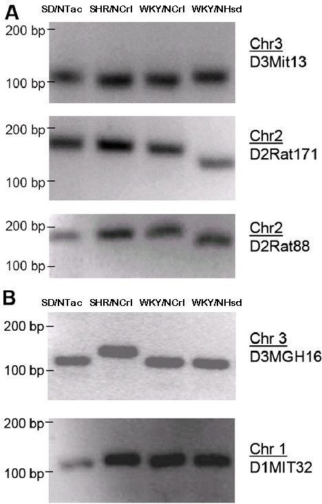 Genotypic differences between SD/NTac Sprague Dawley, SHR/NCrl, WKY/NCrl, and WKY/NHsd strains. (A) For three SSLPs the WKY/NCrl products are the same size as SHR/NCrl. (B) Other SSLPs are the same size for WKY/NCrl and WKY/NHsd (e.g., D3MGH16), indicating that the at least some of the WKY/NHsd background may still be present in the WKY/NCrl.