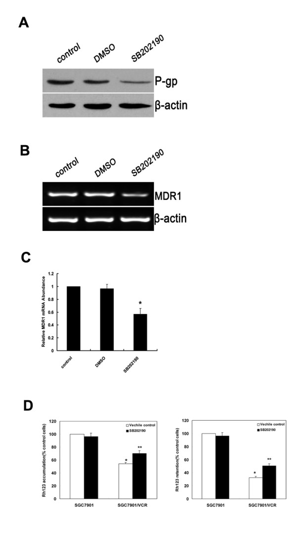 Inhibition of p38-MAPK impairs MDR1 expression and function of P-gp in SGC7901/VCR cells . SGC7901/VCR cells were treated with DMSO or SB202190 (10 μM). (A) Protein levels of P-gp were detected by Western-blot analysis. A representative example of an experiment that was repeated three times is shown. (B) SGC7901/VCR cells were treated with DMSO and SB202190. Expression of MDR1 mRNA was assessed by RT-PCR. β-actin mRNA levels were measured as positive internal controls. (C) The MDR1 mRNA expression levels were normalized to those of β-actin and are the means ± SD of at least three independent experiments. Significant differences are indicated by asterisks. *, P