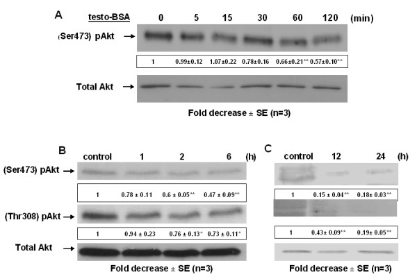 Long-term dephosphorylation/inactivation of <t>Akt</t> kinase in DU145 cells . DU145 cells were exposed to 10 -7 M testosterone-BSA for the indicated time periods: (A: 0, 5, 15, 30, 60 and 120 min), (B: 0, 1, 2, 6 h) and (C: 0, 12 and 24 h). The ratio of the cellular content of the phosphorylated (at Ser473 or <t>Thr308</t> residues) versus the total isoform of Akt kinase was measured in cell lysates by Western blotting using specific antibodies for each form and was normalized to the corresponding ratio of control. Blots show a representative experiment, while the numbers below each lane correspond to the mean values ± SE from three independent experiments (*P