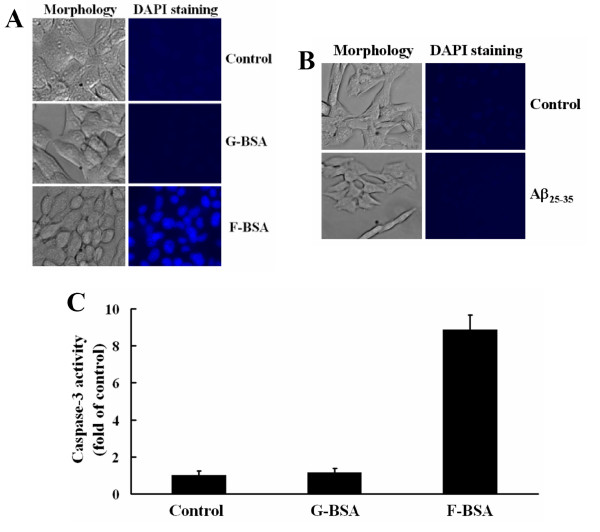 Evaluation of the apoptotic effect of fibrillar BSA . (A) BHK-21 cells were incubated with 1 μM G-BSA (BSA) or F-BSA (BSA-S200) for 3 h. The cells were observed under a fluorescence microscope, and their nuclei were stained with DAPI (magnification in all panels, ×400). (B) BHK-21 cells were incubated with 40 μM Aβ 25–35 for 3 h. The cells were observed under a fluorescence microscope, and their nuclei were stained with DAPI (magnification in all panels, ×400). (C). BHK-21 cells were cultured with 0.8 μM G-BSA (BSA) or F-BSA (BSA-S200) for 15 h in serum-free medium, then underwent caspase-3 activity analysis measured by fluorogenic substrate as described under