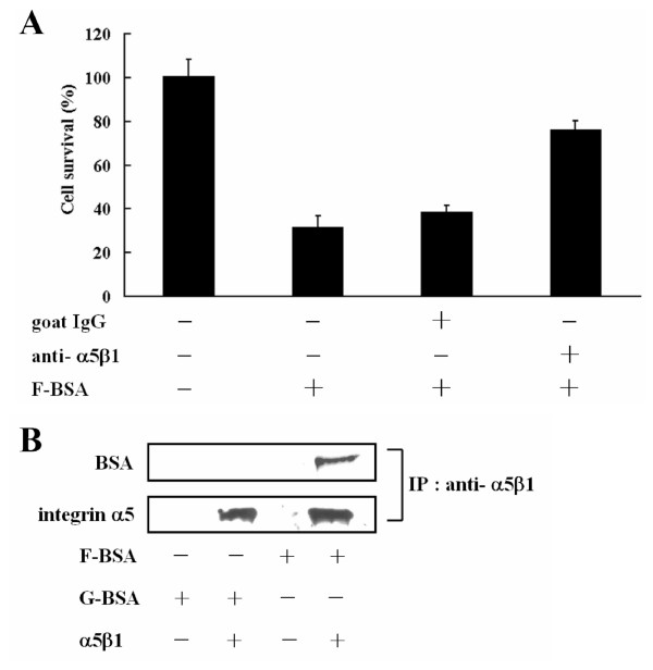 Interaction between fibrillar BSA and integrin α5β1 . (A) T47D cell lines were pre-treated with or without 0.67 μM goat IgG or 0.67 μM goat anti-integrin α5β1 antibody for 30 min as indicated, then incubated with 2 μM F-BSA (BSA-S200) in serum-free medium for 8 h. Cell viability was determined by the MTT assay. Data are means ± S.D. (n = 3). (B) Integrin α5β1 protein was linked to protein A/G beads by use of anti-integrin α5β1 antibody, then incubated with F-BSA (BSA-S200) or G-BSA (BSA) overnight. The immunocomplexes were separated by SDS-PAGE and immunoblotted with anti-integrin α5 and anti-BSA antibodies.