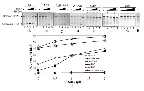 RAD52 stimulates RAD51 mediated dsDNA unwinding . Relaxed φX174 DNA (30 μM) along with Topo I was incubated with RAD51 (3.0 μM) in presence of increasing concentration of RAD52 (0 μM, 0.5 μM, 1.0 μM 2.0 μM) (lanes 1–4 in each Panel) in binding buffer R at 37°C for 12 minutes, in presence of either ATP, ADP, AMP-PNP, ATPγS, or AMP (1 mM each) (Panels A-E) or no nucleotide (Panel F), followed by deproteinization and agarose gel assay (Methods). Lane 5 in all the Panels has all the components except RAD51. Panel G represents only RAD52 control in presence of ATP. Panel H represents no protein control. Percentage unwound DNA (normalized and quantified) was expressed as a ratio of the intensity associated with unwound DNA band to the sum of intensities corresponding to unwound as well as relaxed dsDNA bands. This was plotted as a function of RAD52 concentration (Panel I). Data points were statistically analyzed as explained earlier.