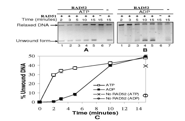 RAD52 stimulates RAD51 mediated dsDNA unwinding even in presence of ADP: Time-course analysis . Relaxed φX174 DNA (30 μM) along with Topo I was incubated with RAD51 (3.0 μM) in presence of RAD52 (2.0 μM) in binding buffer R at 37°C with either 1 mM ATP (Panel A) or ADP (Panel B). Reactions were terminated after indicated time points by SDS/Proteinase K treatment and analyzed on agarose gels. Lane 6 in both Panels represents only RAD52 control while lane 7 represents only RAD51 control. Percentage intensity of unwound DNA to total DNA per lane (as explained earlier) was plotted as a function of time (Panel C).